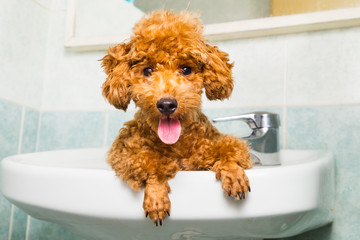 Smiling brown poodle puppy getting ready for bath in basin