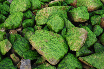 Stones covered with seaweed at low tide