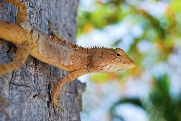 Changeable Lizard. Agamidae (Calotes versicolor) on the tree