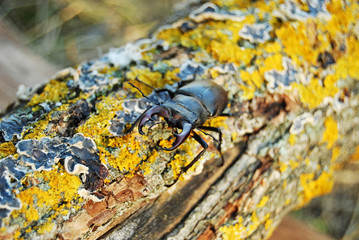 Stag beetle crawling on the trunk of a tree covered with moss