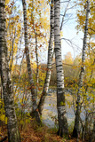 Fototapeta Birch grove on the lakeside of forest lake