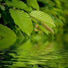 Feuilles de charme sur l'eau