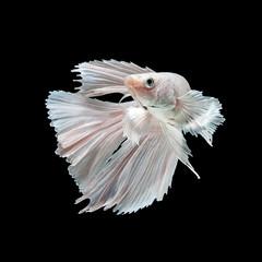 White siamese fighting fish