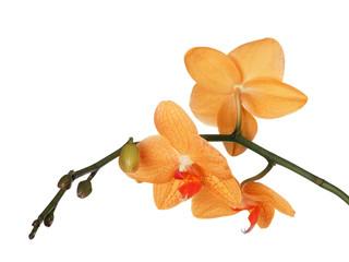 fine orange three orchids on white