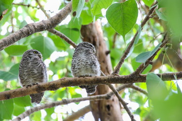 Spotted owlet in nature, Thailand
