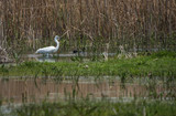 Great White Egret at Lake Prespa, Greece poster