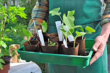 jardinier tenant semis de légume dans un bac