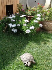 A Turtle on the green grass with white flowers