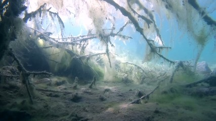 Branches of trees covered with algae in a flooded forest