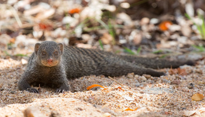 Banded mongoose rest lying flat on sand
