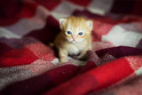 Little kitten lying on checkered red blanket - 82986239