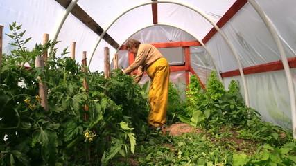 Senior woman tie tomato plants in hothouse greenhouse