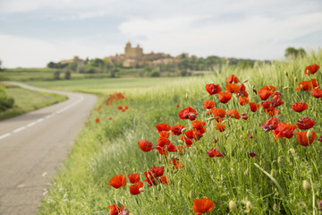 Red poppy flowers on a countryside road
