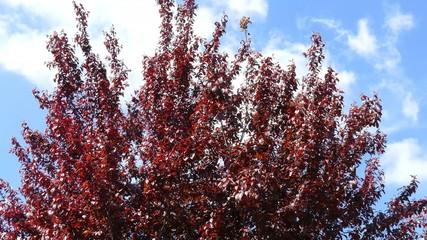 Kleiner Baum mit rotem Laub (Prunus cerasifera)