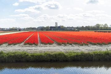 Spring tulip fields in Holland, Netherlands