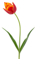 red with yellow tulip isolated on the white background
