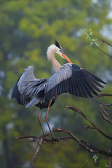 Great Blue Heron spreading wings. It is the largest North Americ