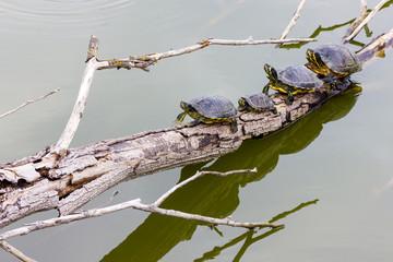 Freshwater turtles