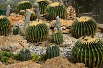 Golden Barrel Cactus in a Cactus garden