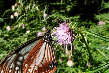 花の蜜を吸う蝶々