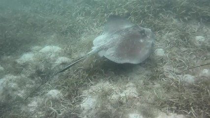 Two southern stingrays swim past as they look for food