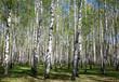 Spring birches in sunlight