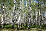 Spring birches in sunlight