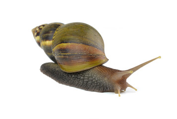 snail isolated on white background.