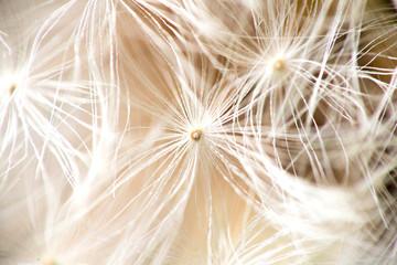 macro photo of a dandelion umbrellas