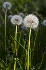 i fiori di tarassaco