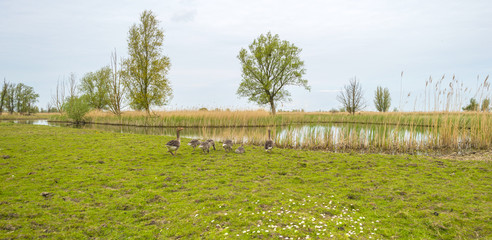 Geese with goslings walking towards the shore of a river
