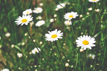 White daisies on green meadow