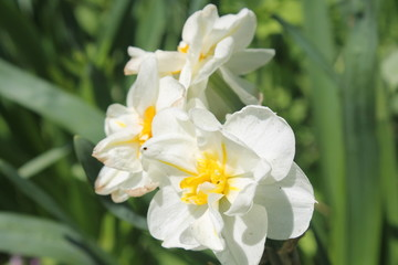 Narcissi white