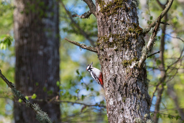 Great spotted woodpecker in spring