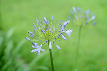 Clouse up of african lily flower