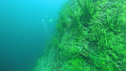 Tech diver swimming near the sheer cliff overgrown Baikal