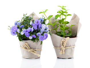 blue Campanula terry flowers in paper packaging, isolated on whi