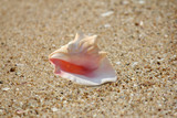 Pink Conch shell (Lobatus gigas) on a sandy background poster