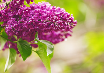 Spring purple flowers of lilac, floral background, selective foc