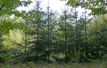 young spruce, young trees