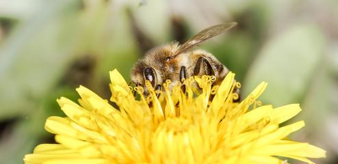 bee (Apis mellifera)