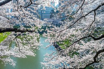 Spring cherry blossoms in Ushigafuchi,Tokyo