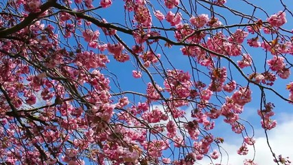 Beautiful Japanese tree branches in bloom, footage