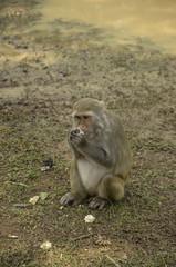Monkey pets