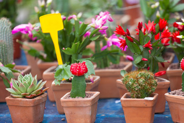 Sale of cactuses of different grades in flower shop