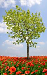 Tree with red poppy field. Spring season.