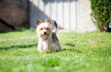 small mutt dog in the yard poster