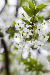 Blossoming of cherry tree, white flowers