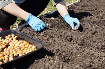 Gardener planting onions in the kitchen garden