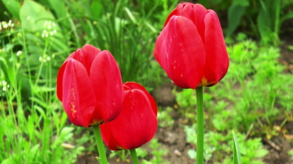 Three tulip in the garden